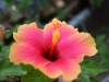 red-hibiscus-flower